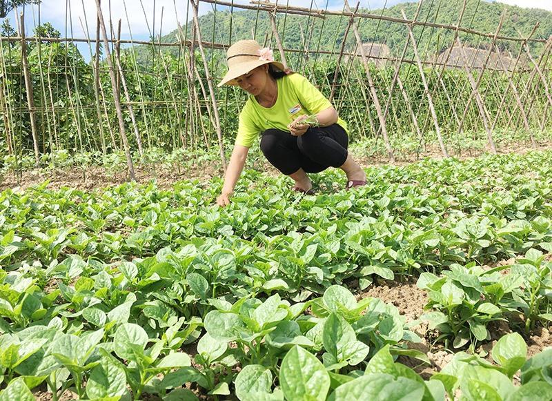 Nhiều hộ dân tại thôn Đại Bình tham gia liên kết với HTX Đại Bình sản xuất rau sạch. Ảnh: LÊ THÔNG