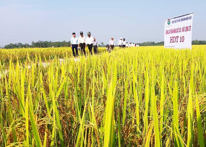 Nhiều mô hình liên kết sản xuất và tiêu thụ lúa giống hàng hóa giữa các doanh nghiệp với nông dân Duy Xuyên phát huy hiệu quả. Ảnh: H.N
