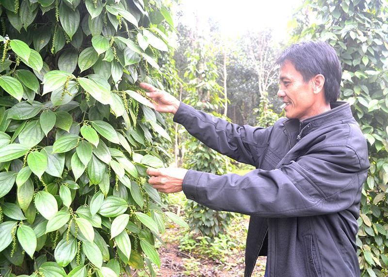 Người nông dân sẽ được hỗ trợ để phát triển nghề trồng tiêu ở vùng tây Thăng Bình. Ảnh: V.NGUYỄN