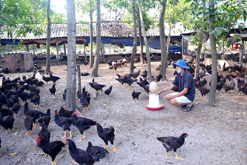 Ông Nguyễn Minh Đồng cho biết gà thương phẩm hiện có giá rất thấp. Ảnh: VIỆT NGUYỄN