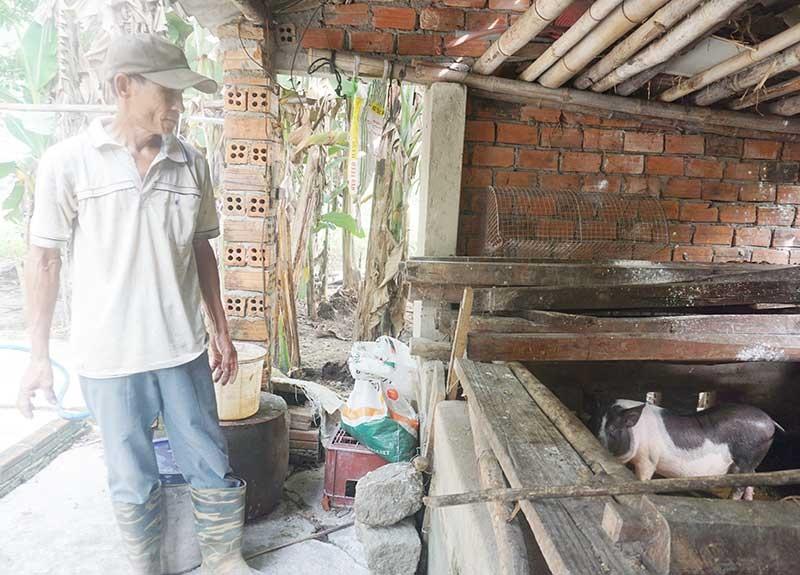 Gia đình ông Trần Tấn Hồng vẫn còn 1 con heo nái sống sót sau dịch tả lợn châu Phi. Ảnh: BIÊN THỰC