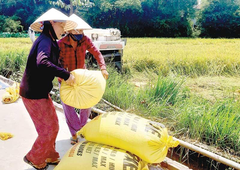 Do thời tiết quá bất lợi, năm 2019 này năng suất lúa ở nhiều địa phương của tỉnh tụt giảm mạnh. Ảnh: VĂN SỰ