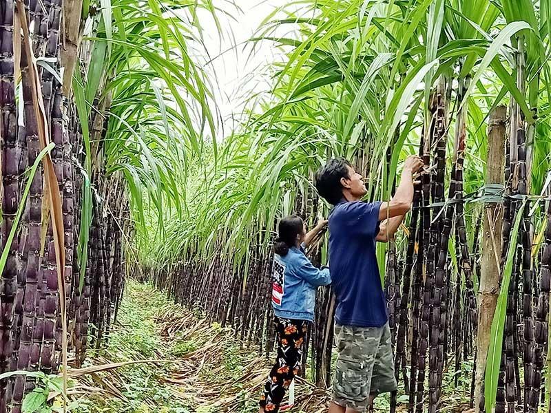 Cây mía mưng được chọn làm sản phẩm OCOP của xã Trà Giang trong năm 2020. Ảnh: HOÀNG LIÊN