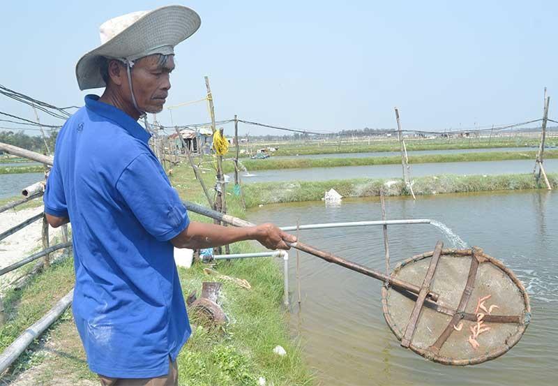 Nhiều diện tích nuôi tôm ở vùng triều ven sông bị dịch bệnh hoành hành khiến nông hộ thua lỗ. Ảnh: VIỆT NGUYỄN