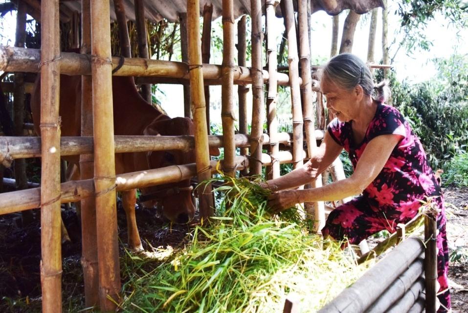 Bà Phan Thị Oanh chăm sóc con bò giống nhận từ Mặt trận xã Phú Thọ. Ảnh: THÁI CƯỜNG