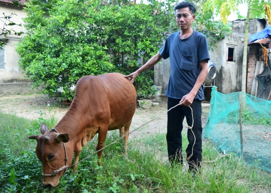 Nhờ được hỗ trợ bò sinh kế, gia đình ông Ngô Văn Thảnh có điều kiện vươn lên thoát nghèo. Ảnh: THÁI CƯỜNG