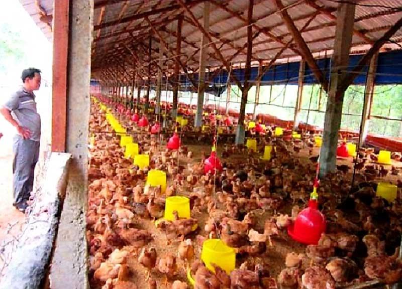 Mô hình nuôi gà gia công của ông Lưu Văn Bảy ở thôn Chiêm Sơn (Duy Sơn, Duy Xuyên) mang lại hiệu quả kinh tế cao. Ảnh: H.N