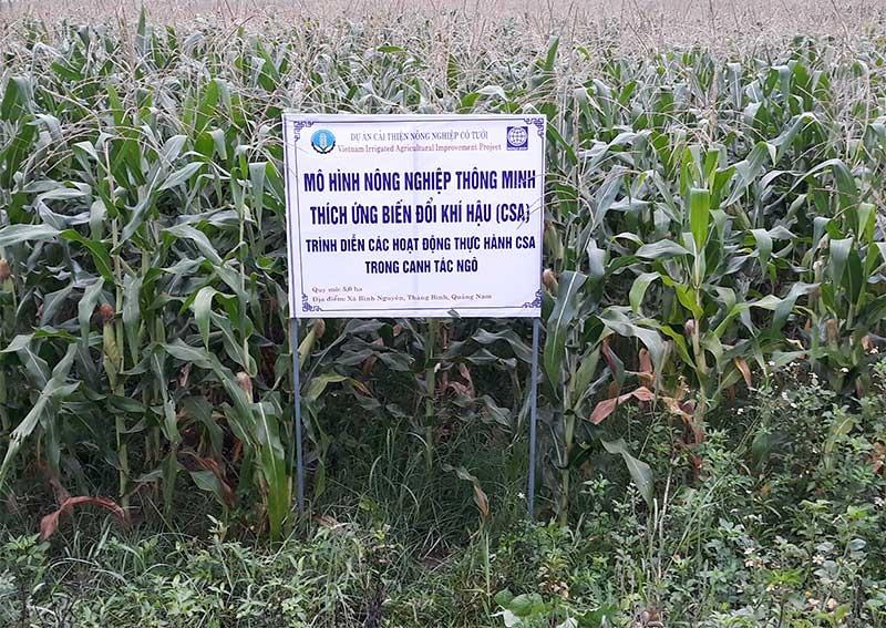 Mô hình CSA trồng bắp trên đất lúa cho hiệu quả kinh tế cao. Ảnh: M.TRÍ