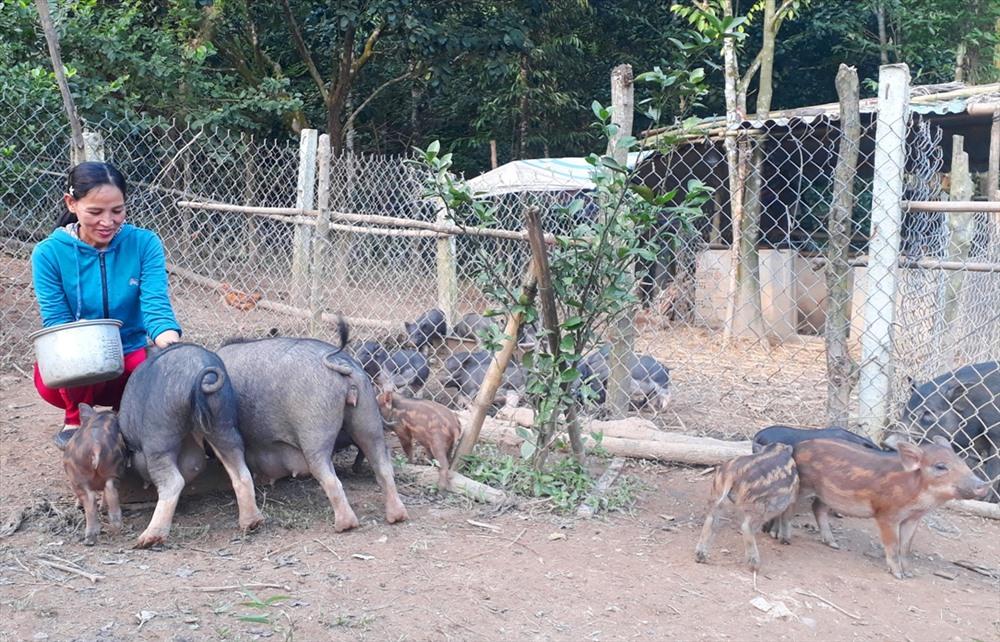 Giống heo Ê Đê có nhiều ưu điểm, phù hợp với điều kiện chăn nuôi tại Nông Sơn. Ảnh: TÂM THÔNG
