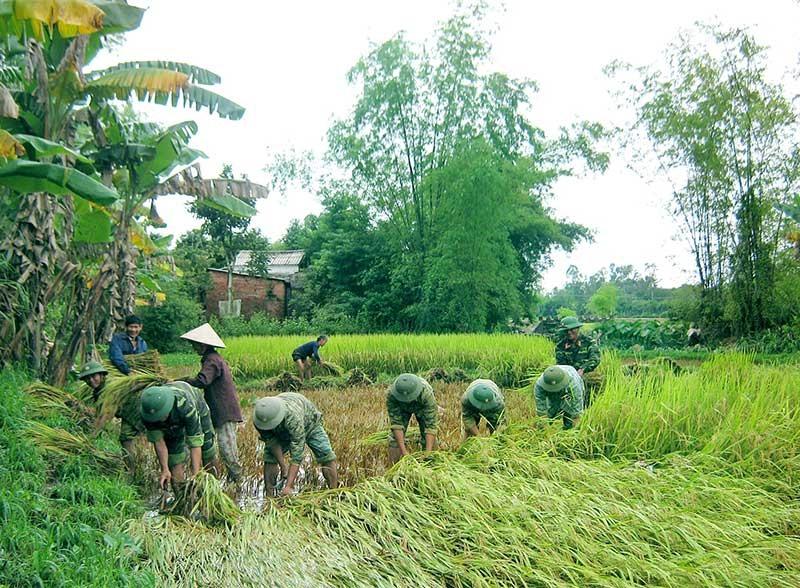 Bộ đội giúp dân thu hoạch lúa. Ảnh: TUẤN ANH