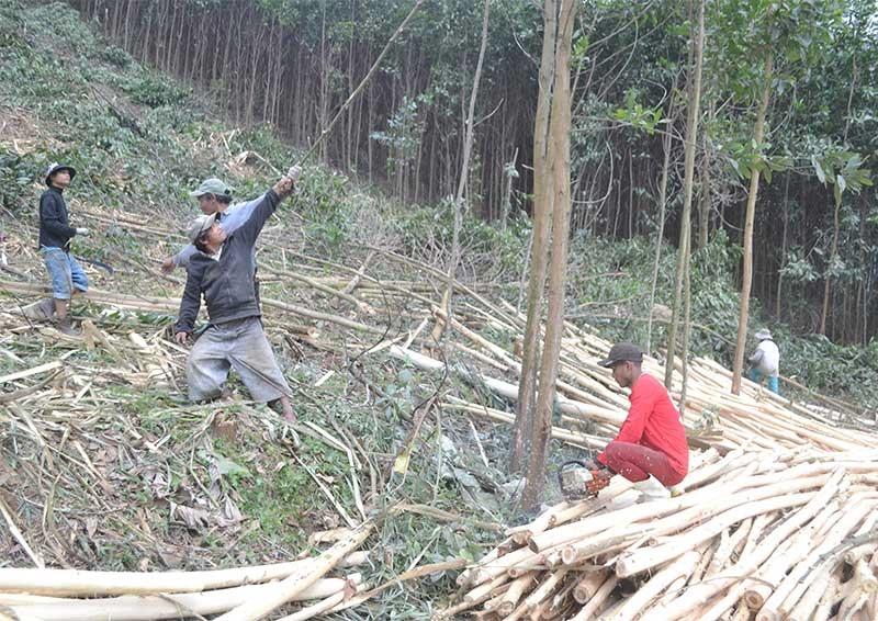 Người dân Đông Giang khai thác rừng keo trồng ven quốc lộ 14G. Ảnh: C.T