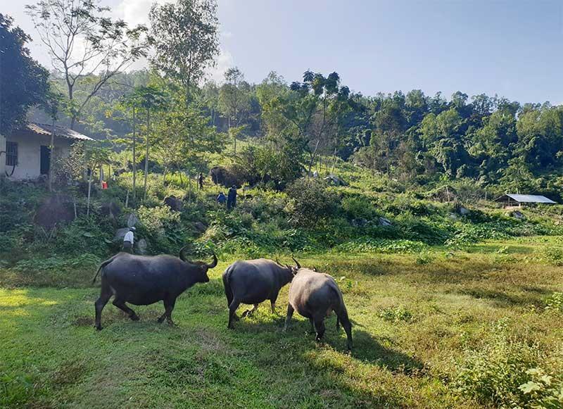 Đàn trâu chăn thả trong trang trại của ông Trạng.