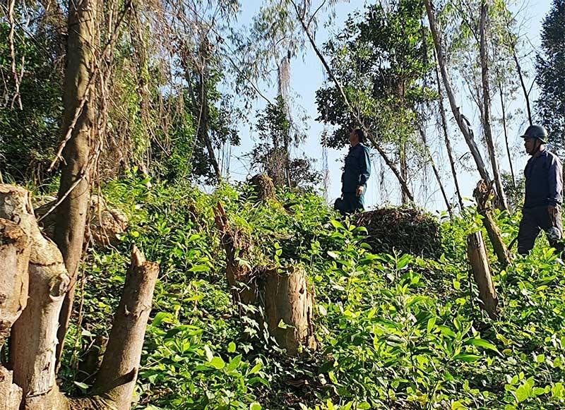 Nhiều cây trồng từ dự án của Nhà nước bị chặt phá, thay vào đó là rừng keo mới trồng của một số cá nhân. Ảnh: H.PHÚC