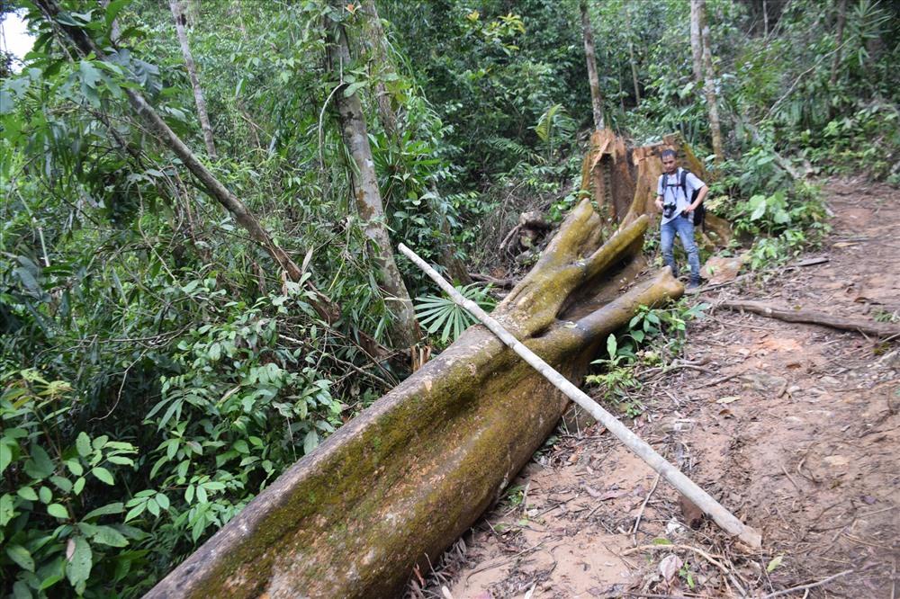 Cây gỗ lớn có đường kính gần 1m vừa bị đốn hạ. Ảnh: THANH THẮNG