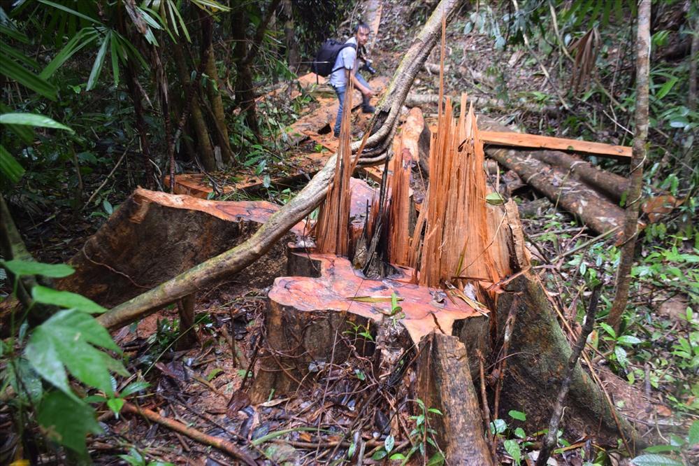 Cây gỗ lớn có dấu vết cưa xẻ còn mới. Ảnh: THANH THẮNG