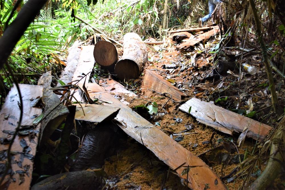 Những cây gỗ khô cũng bị các đối tượng cưa xẻ rồi đưa ra khỏi rừng. Ảnh: THANH THẮNG