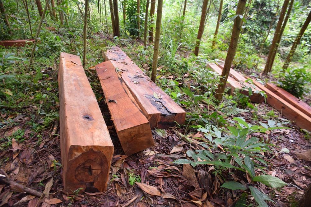 Gỗ phách tập kết tại khu vực rừng keo. Ảnh: THANH THẮNG