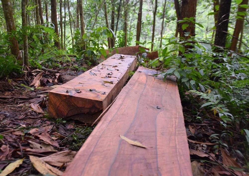 Có tổng cộng 20 phách gỗ lớn nhỏ tập kết chuẩn bị đưa đi tiêu thụ. Ảnh: THANH THẮNG