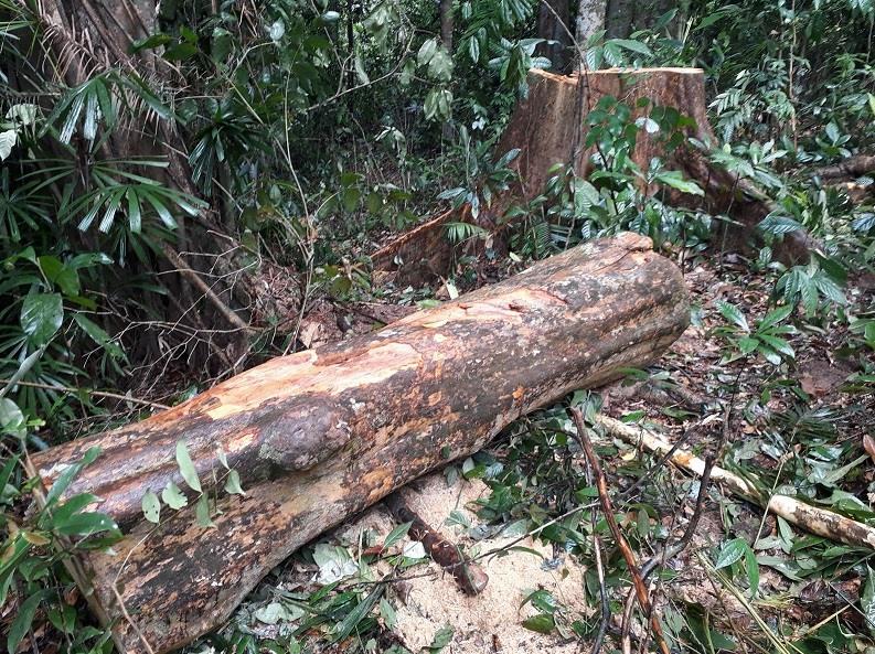 Một cây gỗ chuồn bị cưa hạ tại tiểu khu 774, xã Trà Nú. Ảnh: LÊ VƯƠNG