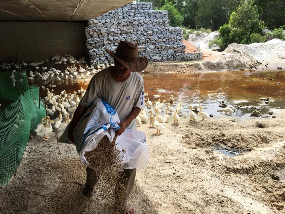 Tận dụng đất vườn và thức ăn tại địa phương, ông Tùng thành công với trang trại vịt lên đến hơn 3.000 con. Ảnh: K.L