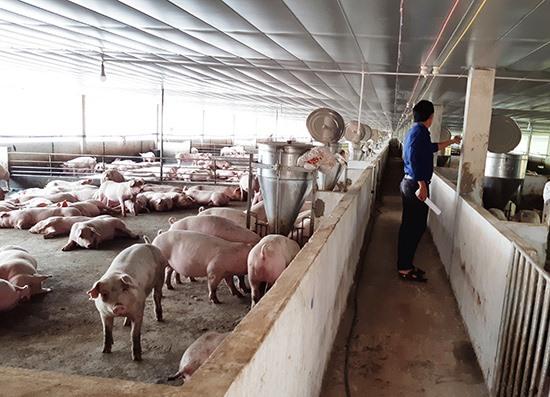 Mặc dù chưa bị dịch gây hại nhưng những ngày qua việc tiêu thụ heo thịt ở Đại Lộc gặp rất nhiều khó khăn. Ảnh: VĂN SỰ