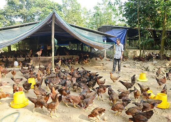 CCB Huỳnh Văn Nhất, xã Tiên Phong kết hợp chăn nuôi heo gà tạo nguồn thu hơn 400 triệu đồng mỗi năm.