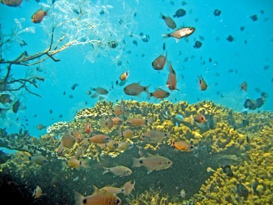 Thông qua sự hỗ trợ của các tổ chức quốc tế, hệ động thực vật biển Cù Lao Chàm đã được phục hồi phát triển tốt. Ảnh: Ban Quản lý Khu bảo tồn biển Cù Lao Chàm