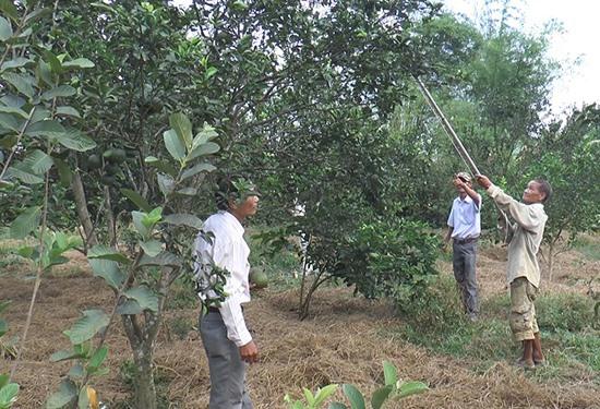 Ông Châu Sanh hái những quả cam trong vườn của mình. Ảnh: BIÊN TÂN