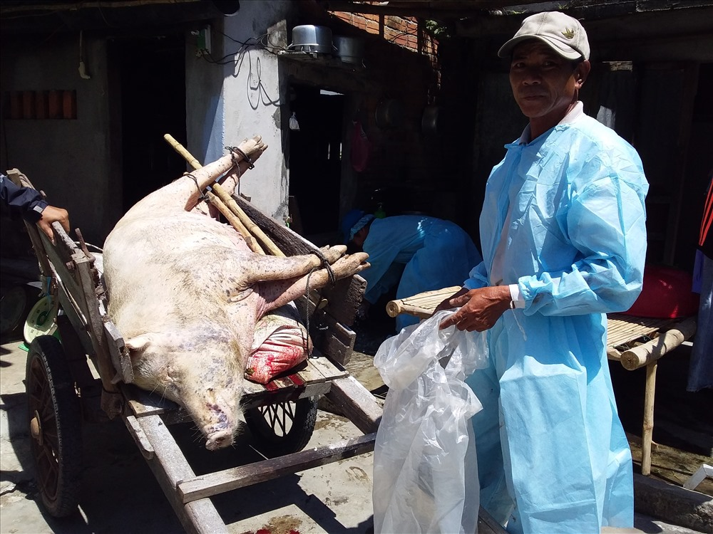 Số heo mắc bệnh dịch tả lợn châu Phi tiếp tục gia tăng. Ảnh: L.T
