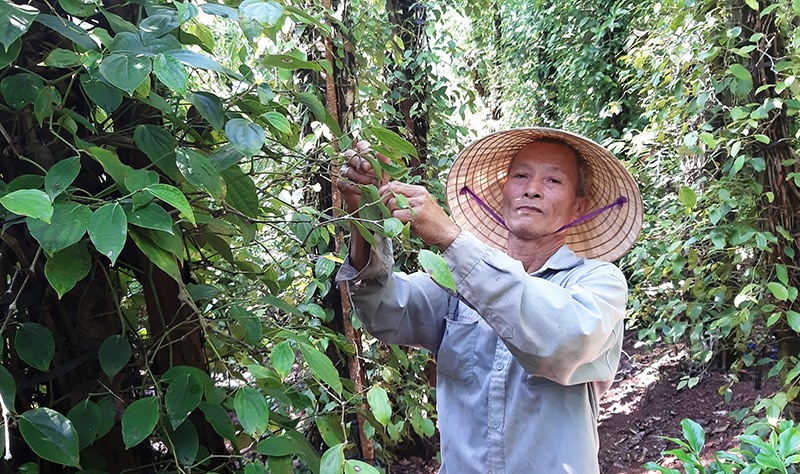 Thời gian qua, nhiều hộ dân ở xã Duy Thu tập trung cải tạo vườn đồi để trồng tiêu chuyên canh và hiệu quả mang lại khá cao. Ảnh: T.L