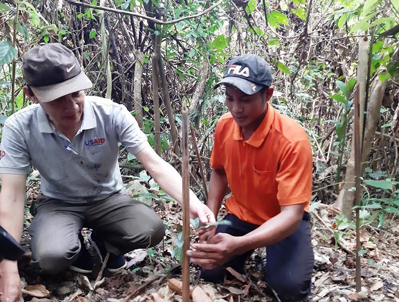 Cây ba kích tím thích nghi với đất rừng Phước Sơn. Ảnh: HOÀNG LIÊN