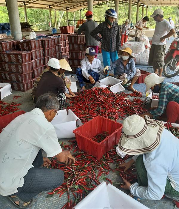 Nhờ doanh nghiệp liên kết tiêu thụ sản phẩm, người trồng ớt ở huyện Duy Xuyên yên tâm phát triển sản xuất. Ảnh: VĂN SỰ