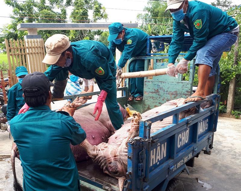 Những ngày gần đây, dịch tả lợn châu Phi tiếp tục lây lan khiến nhiều đàn heo bị nhiễm bệnh phải tiêu hủy khẩn cấp. Ảnh: VĂN SỰ