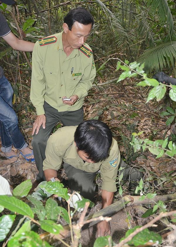 Lực lượng kiểm lâm bảo vệ nghiêm ngặt vùng dược liệu ba kích tím dưới tán rừng tại khu vực rừng phòng hộ Đắc Mi, thuộc xã Phước Chánh (Phước Sơn). Ảnh: TR.HỮU