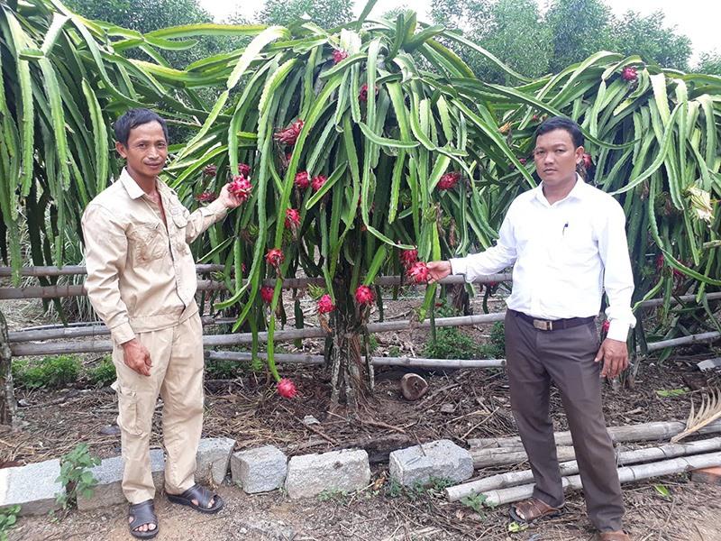 Vườn thanh long ruột đỏ của anh Đinh Văn Trí ở thôn Phú Cường 2 (xã Quế Cường) cho hiệu quả kinh tế cao. Ảnh: T.L