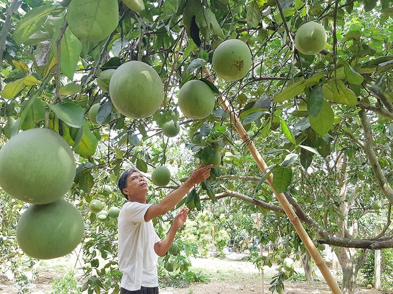 Vùng cây ăn quả thâm canh theo hướng an toàn ở thôn Thái Sơn, xã Đại Hưng, Đại Lộc. Ảnh: HOÀNG LIÊN