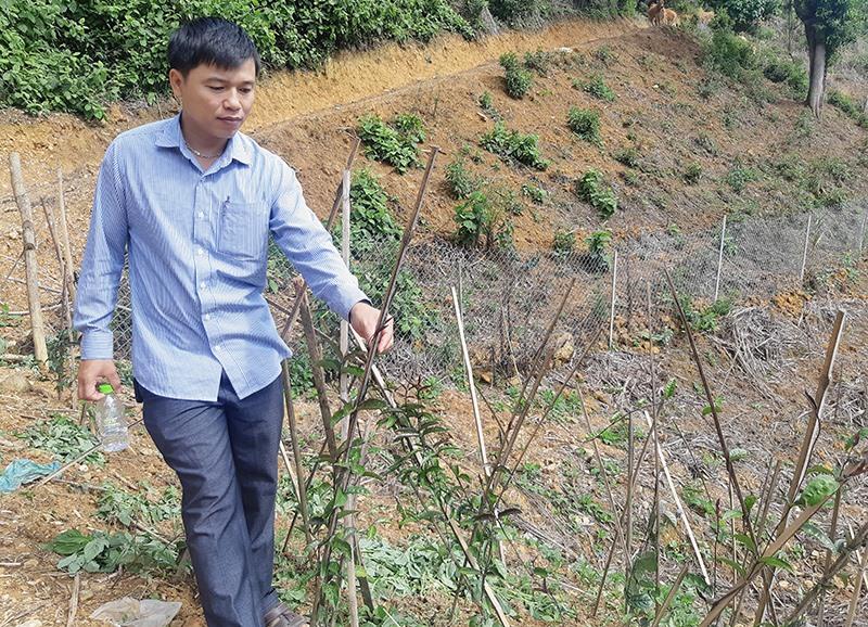 Cây ba kích tại vùng trồng bảo tồn dược liệu huyện Tây Giang phát triển khá tốt do hợp thổ nhưỡng, có độ che phủ tán rừng tốt. Ảnh: HOÀNG LIÊN