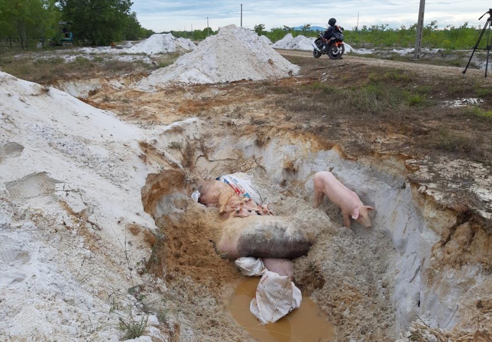 Tại một hố tiêu hủy ở xã Bình Tú, trong khi chờ đầy xác heo mới được lấp đất thì có heo vẫn còn sống. Ảnh: ĐẠO THẮNG