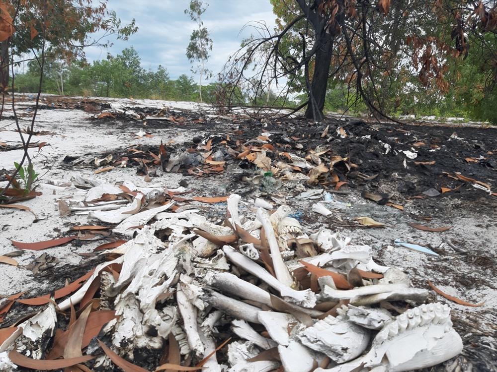 Một điểm tiêu hủy ở xã Bình Triều còn vương vãi xương heo. Ảnh: ĐẠO THẮNG