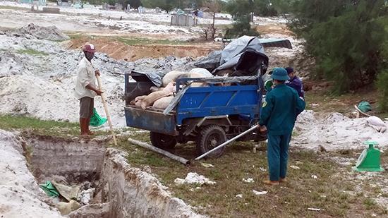 Những ngày qua, số heo bị nhiễm dịch phải tiêu hủy bắt buộc ở nhiều nơi của huyện Thăng Bình tiếp tục tăng mạnh. Ảnh: VĂN SỰ