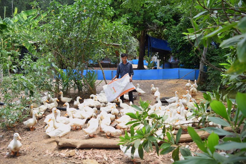 Mô hình nuôi vịt - cá kết hợp cho thu nhập cao của anh Trần Kim Cúc. Ảnh: THÁI CƯỜNG