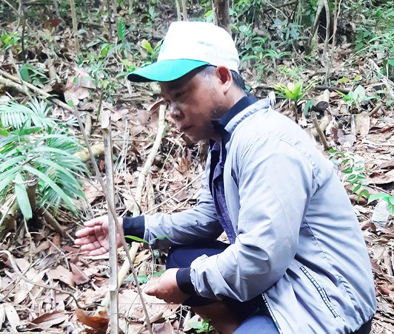 Cây ba kích trồng dưới tán rừng xã Zuôih có tỷ lệ sống thấp, phát triển yếu, dù đã sau hơn 1 năm trồng. Ảnh: BÍCH LIÊN