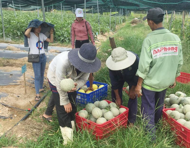 Một buổi thu dưa lưới tại trang trại HTX Thực phẩm sạch Phú Ninh ở Tam Đàn. Ảnh: N.LINH