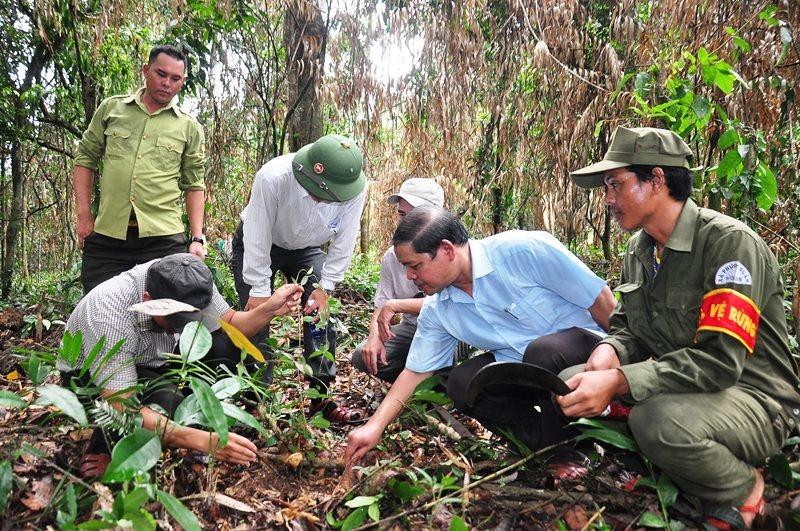 Đoàn khảo sát còn ghi nhận một số loài dược liệu quý như cây ba kích tím trong khu vực trồng sa nhân tím. Ảnh: V.ANH