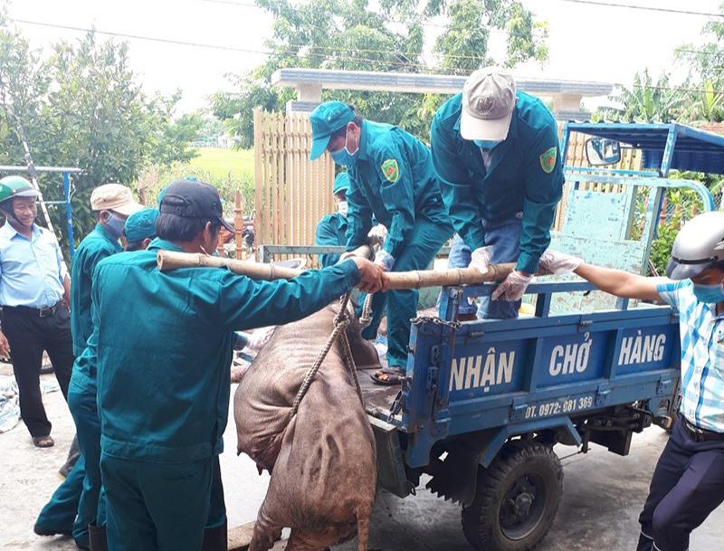 UBND tỉnh yêu cầu tăng cường kiểm tra việc xử lý tiêu hủy heo bị nhiễm bệnh dịch tả lợn châu Phi. Ảnh: VĂN SỰ