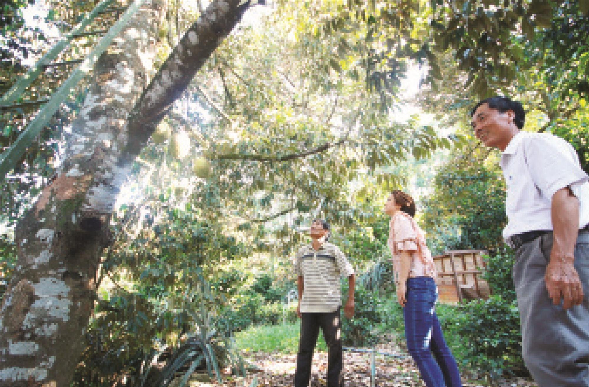 Vườn cây ăn trái của ông Thái Nguyên Khoa cho thu nhập khá ổn đinh. Ảnh: T.C