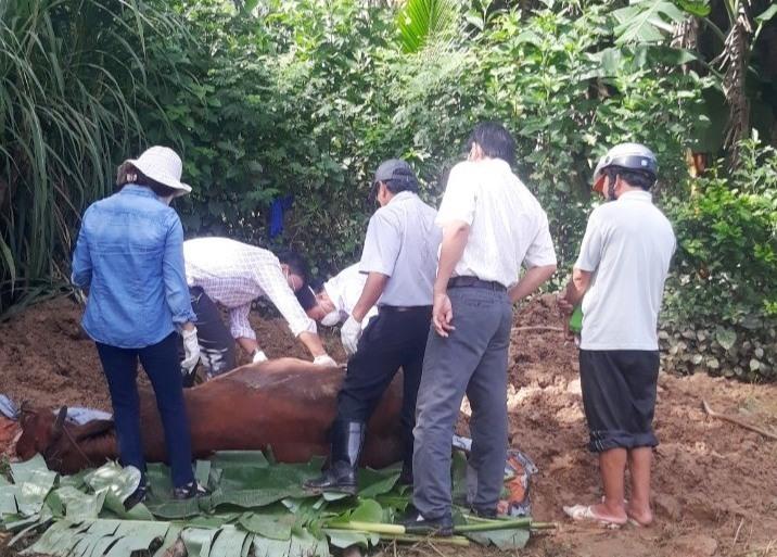Lực lượng chức năng tổ chức lấy mẫu vật nuôi chết để kiểm nghiệm. Ảnh: H. L