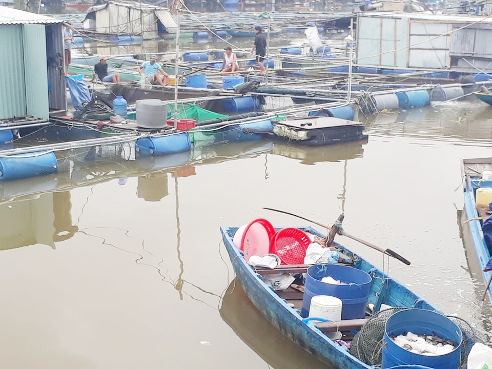 Người nuôi cá lồng bè ở phường Cửa Đại thiệt hại nặng nề do cá chết hàng loạt. Ảnh: N.Q