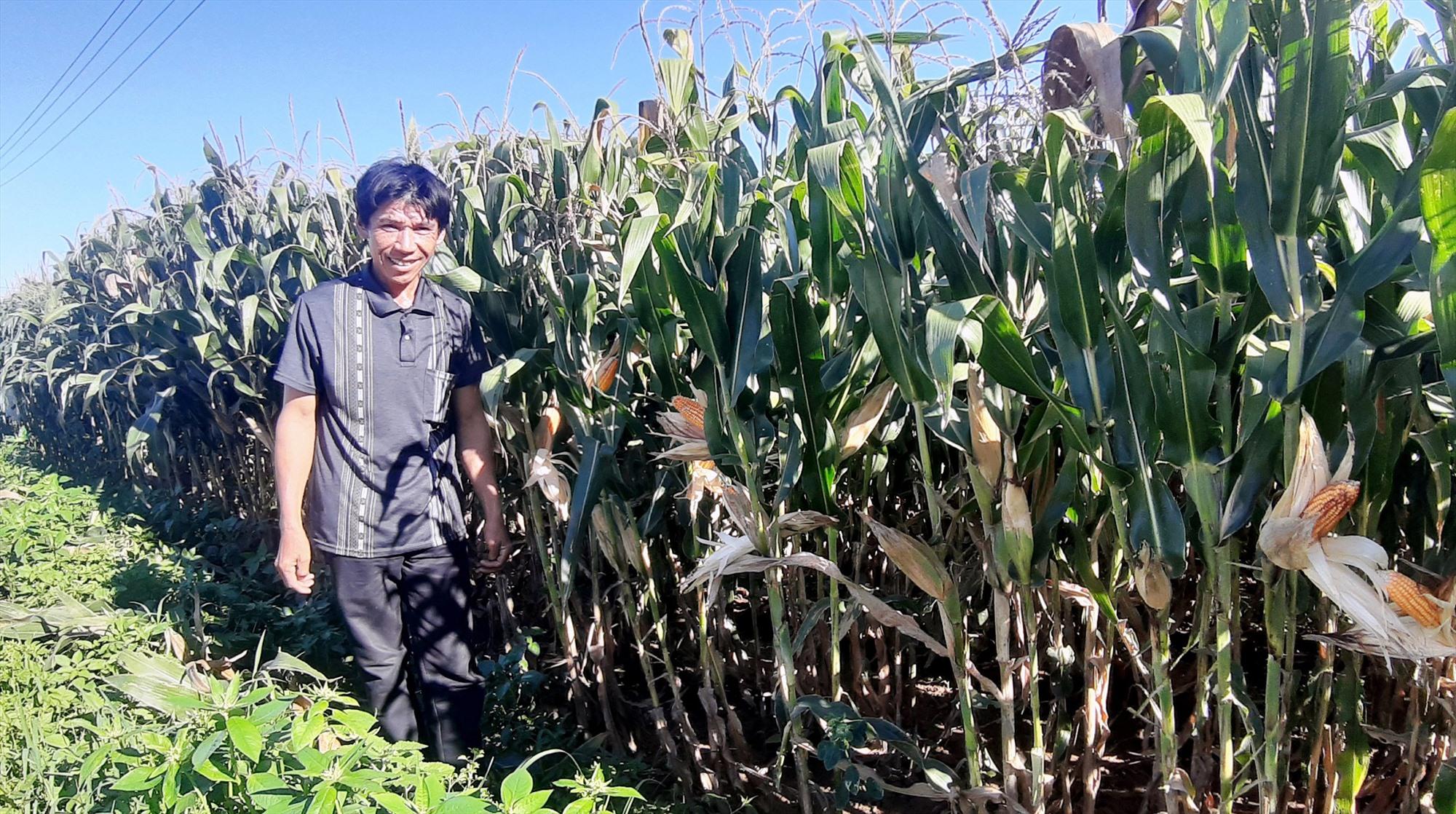 Với 4 sào đất màu, bình quân mỗi năm ông Ngô Nguyên Nhàn ở thôn Thanh Châu (xã Duy Châu, Duy Xuyên) thu về 42 triệu đồng. Ảnh: H.N