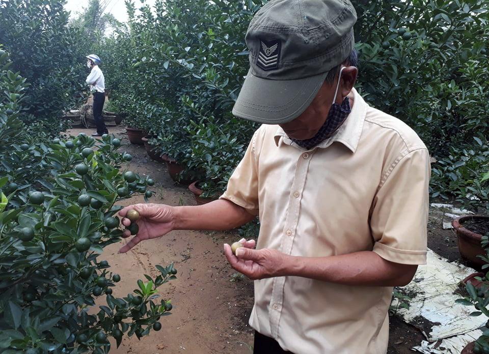 Do ảnh hưởng của mưa bão, nhiều cây quật cảnh của người dân phường Thanh Hà và xã Cẩm Hà bị héo úa lá, thối rễ, có nguy cơ chết hàng loạt. Ảnh: N.Q